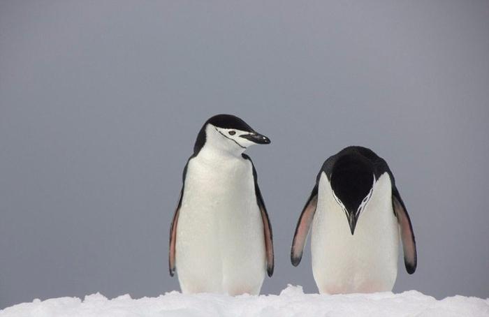 3. Пара пингвинов, уставшая от семейных разборок (700x454, 140Kb)