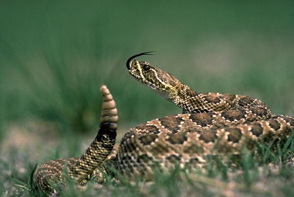 Как гремит гремучая змея?