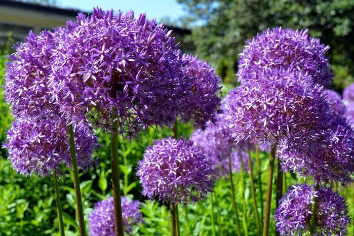 ornamental-onion-2401868_1280 (700x466, 166Kb)