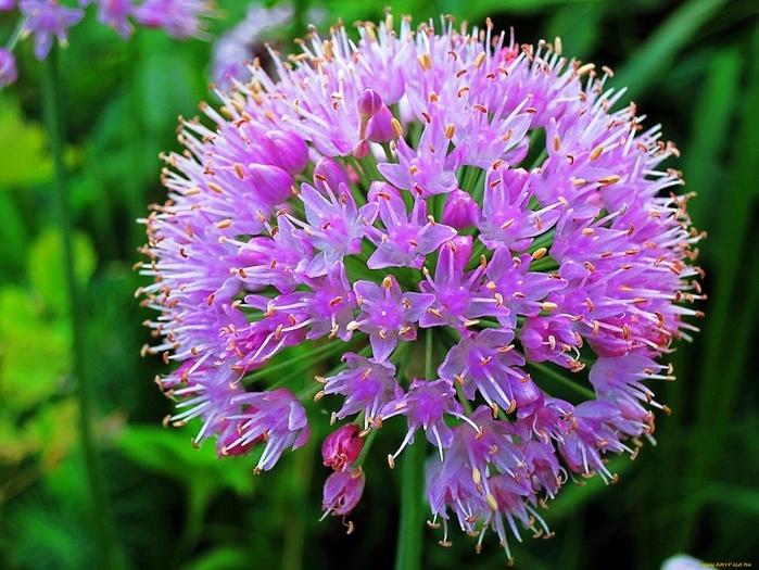 cvety-allium--dekorativnyj-luk-luk-920051 (700x525, 167Kb)