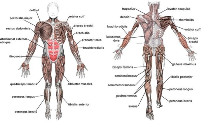 Скільки м'язів у людини та інші найцікавіші факти про м'язи