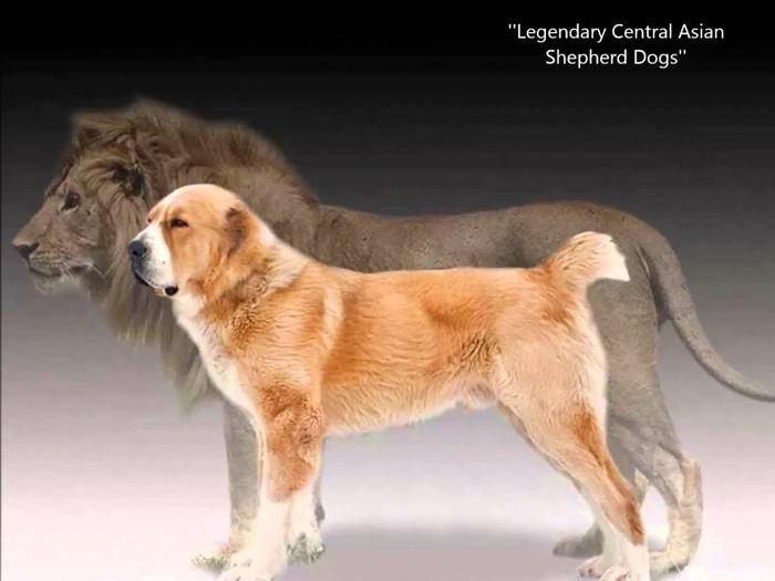Алабай и лев