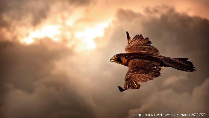 6201779_25463animalsbirdsfalcons1920x1080 (700x393, 157Kb)