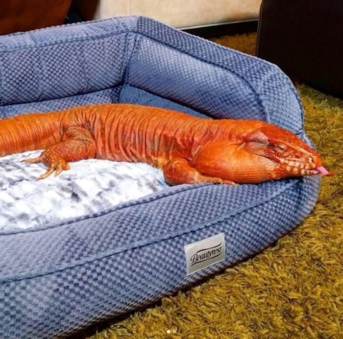 Необычное домашнее животное   Ящерица Тегу