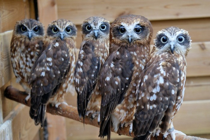owls21 (700x468, 90Kb)
