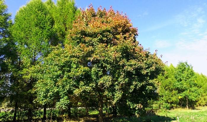 Какие деревья помогут выжить в лесу