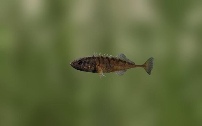 Колюшки самцы   яркий пример преданности и заботы о потомстве