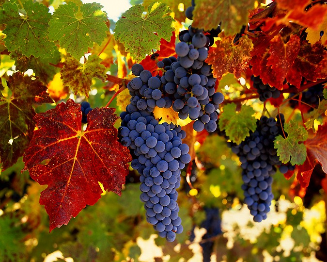 grape1 (675x540, 146Kb)