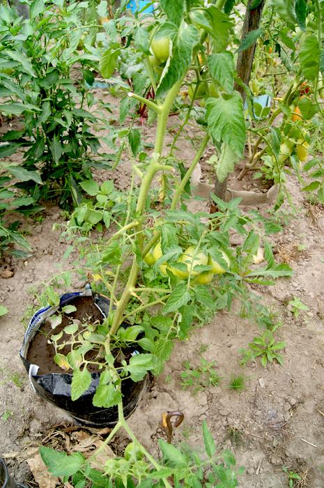 Безрассадный способ выращивания помидоров 60