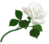 5011241_white_roses_PNG2799170x154 (170x154, 26Kb)