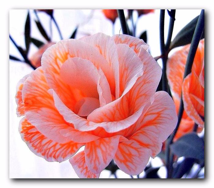 Цветки-лизиантуса-розовато-лиловой-окраски (700x614, 464Kb)