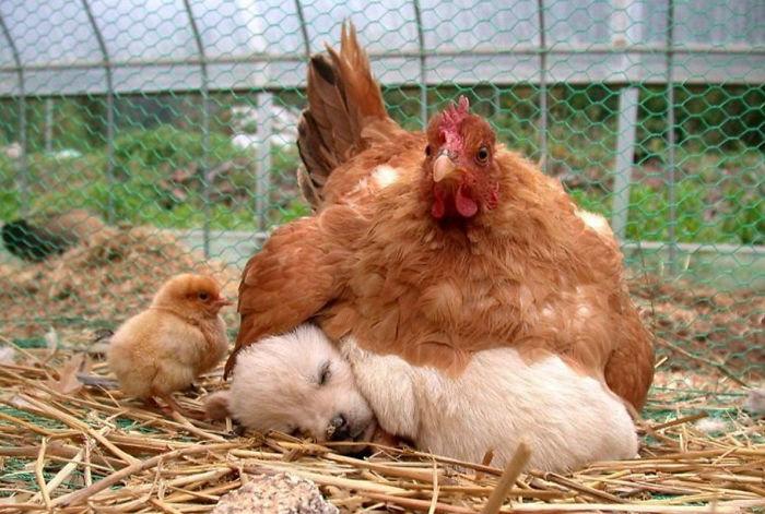 hens-adopt-2 (700x471, 92Kb)
