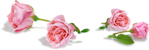 Крымские розы/4059776_razdelitel_s_rozami (300x101, 40Kb)