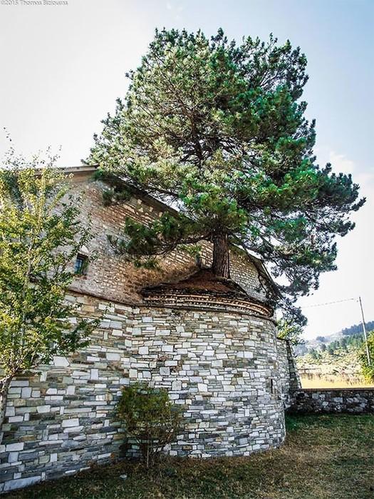 Природа взяла свое! 100-летнее дерево проросло через старую церковь