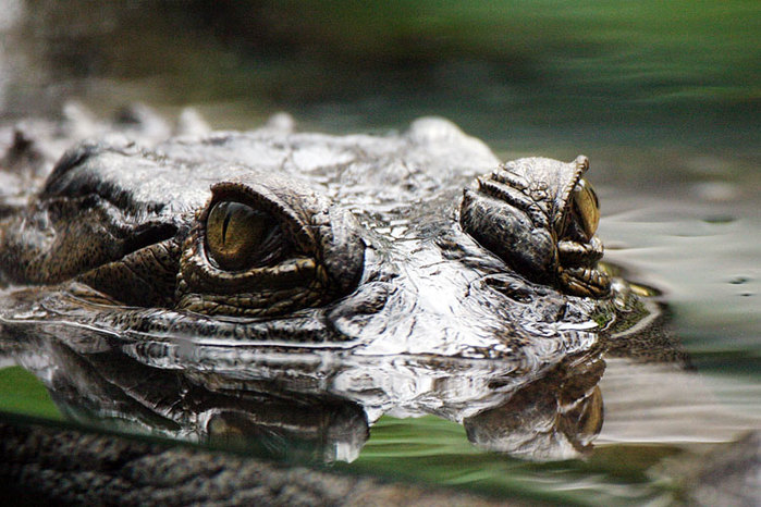 Крокодилы вовсе не прожорливые существа