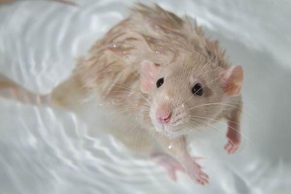 Крысу можно утопить на самом деле?