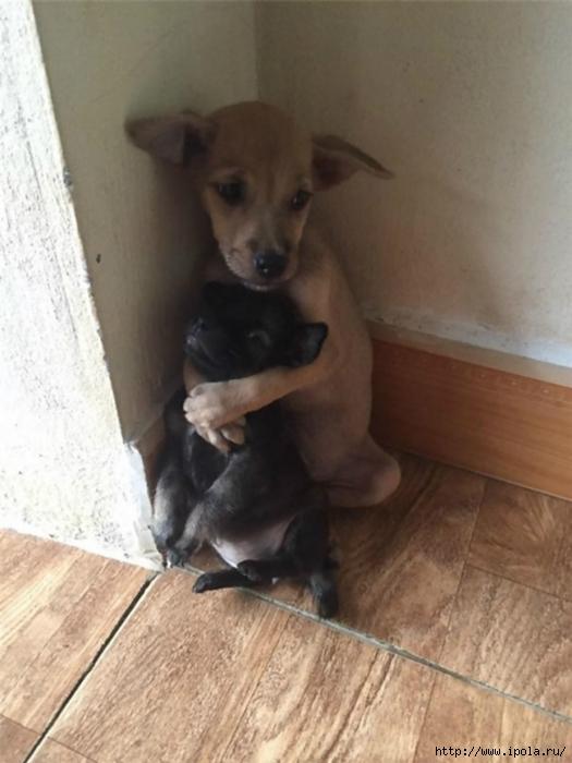 """alt=""""Два щенка не могут расстаться друг с другом после спасения""""/2835299__1_ (525x700, 205Kb)"""