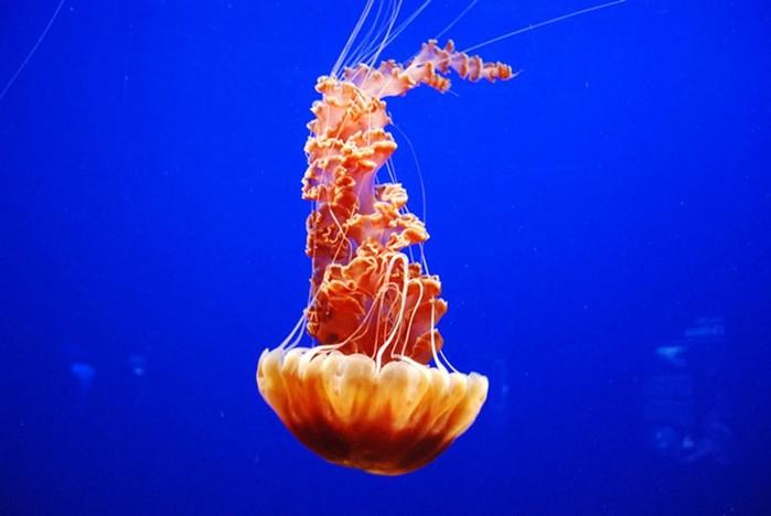Как живет и размножается морская медуза