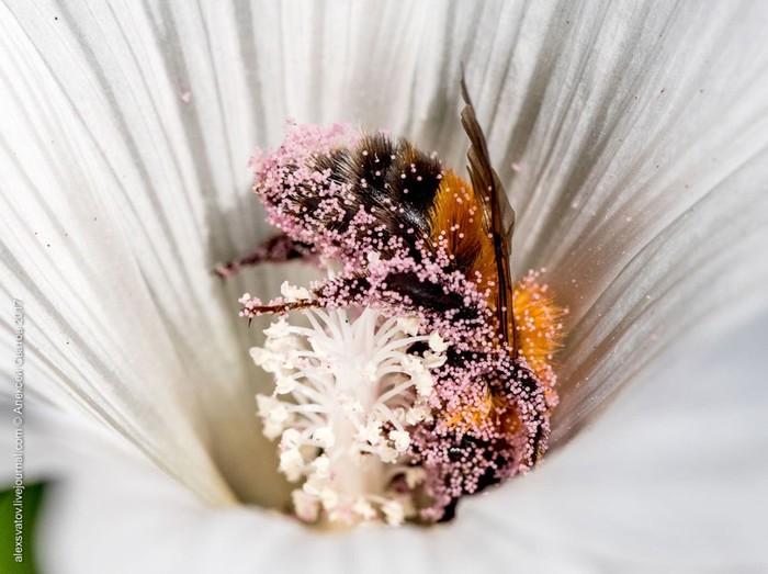 Купание шмелей в пыльце