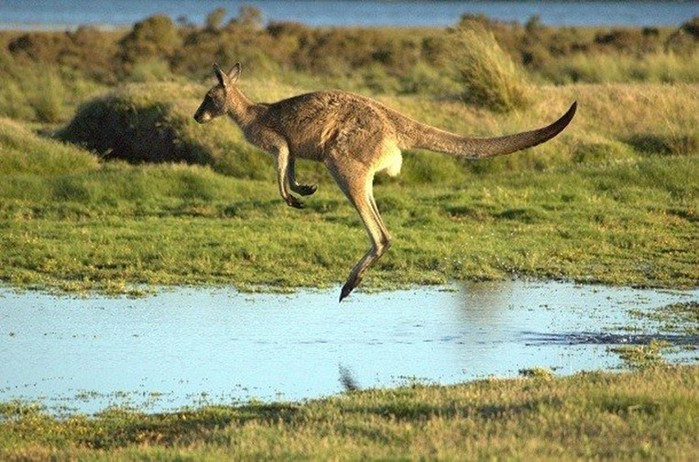 Самые удивительные секреты «обычных» кенгуру