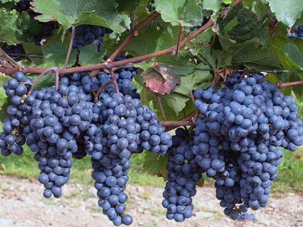 Обрезка винограда для начинающих/4512595_obrezka_vinograda_dlja_nachinajushhih5 (600x450, 41Kb)