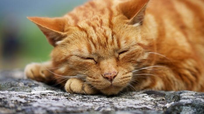 фото рыжих котов и кошек (4) (700x393, 80Kb)