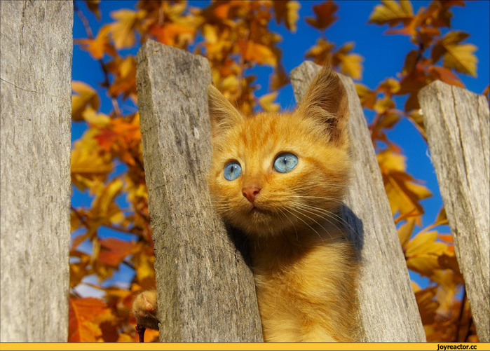 котэ-котёнок-рыжий-забор-664916 (700x501, 148Kb)