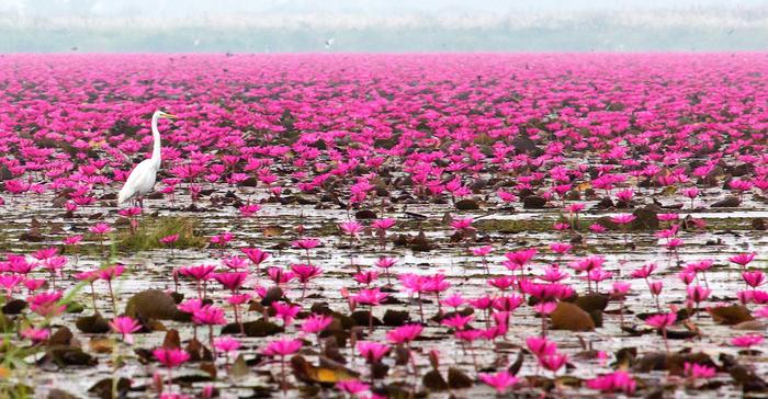 Море красных лотосов в Тайланде