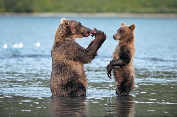 Заблуждения, связанные с медведями