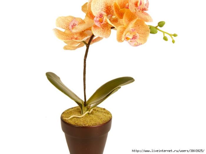 tsvetok-orhideya (700x525, 99Kb)