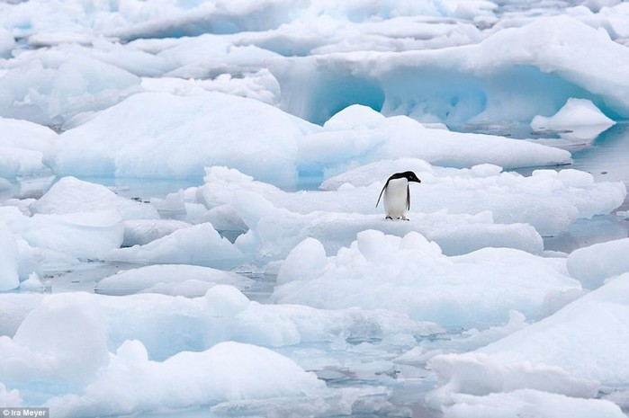 Фотограф Айра Мейер поделилась лучшими кадрами пингвинов за 10 лет работы