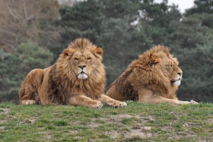 Гей прайд: Два льва занимались сексом на глазах у самки