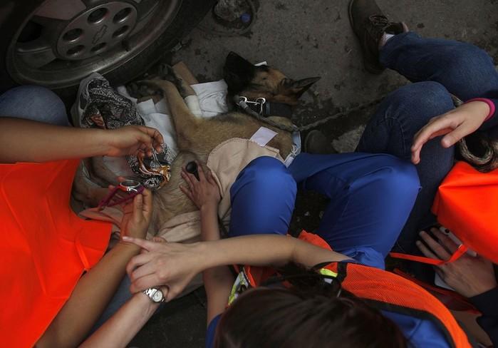 Как трудятся обученные доставать людей из под завалов собаки
