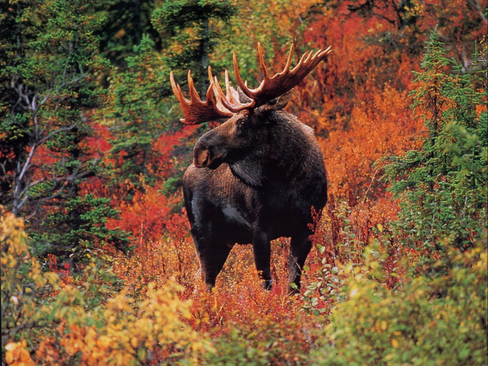 wildlife-wallpaper-deer (700x525, 565Kb)