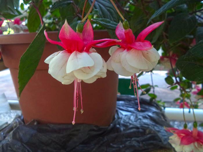 Цветы - в Аптекарском огороде Ботанический сад фото Димы (700x525, 222Kb)