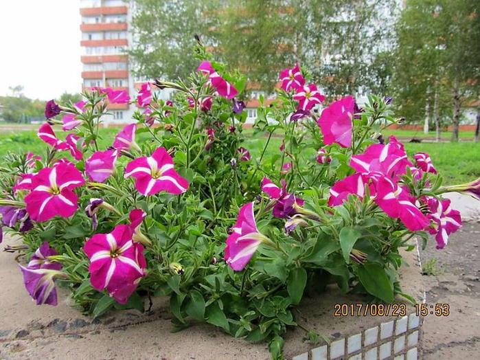 Цветы - в Шарыпово (700x524, 493Kb)