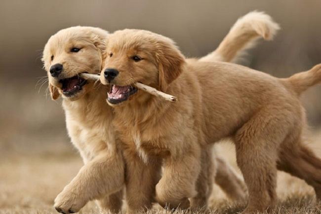 1. Когда щенок-самец играет со щенком-самкой, он обычно поддается даме, даже если физически сильнее ее. (650x434, 181Kb)
