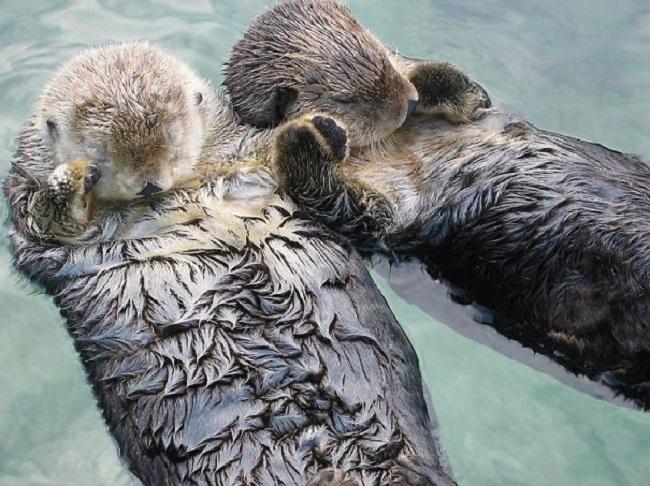 4. Чтобы не потеряться, морские выдры держатся за лапки, когда спят. (650x486, 297Kb)