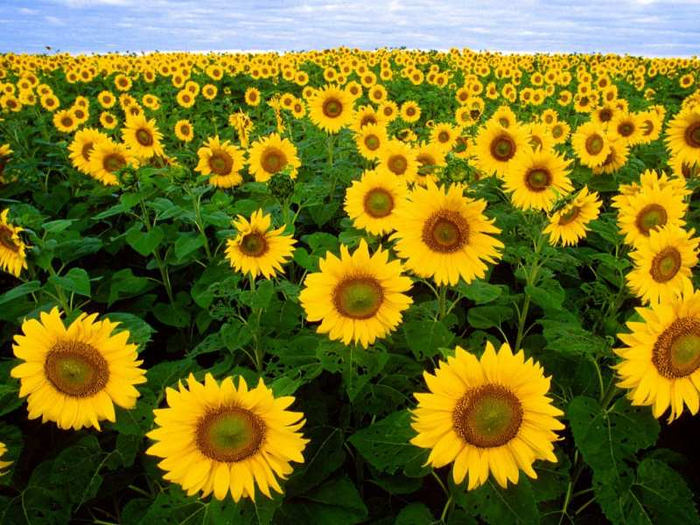 Beautiful Sunflowers Wallpaper (700x525, 540Kb)