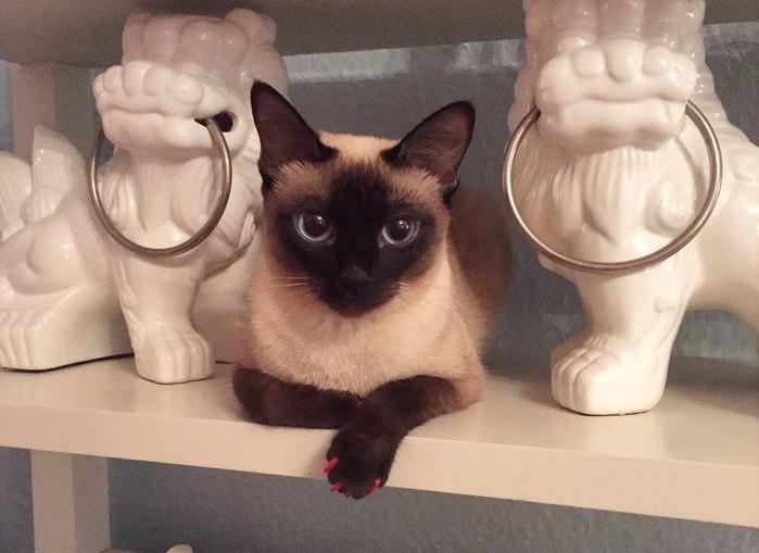 Самая-маленькая-порода-кошек-Скиф-тай-дон (700x509, 73Kb)