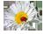 4059776_romashka_malenkaya (50x39, 7Kb)/4059776_romashka (120x61, 15Kb)/4059776_Romashka (133x100, 46Kb)/4059776_romashka_malenkaya (50x39, 7Kb)