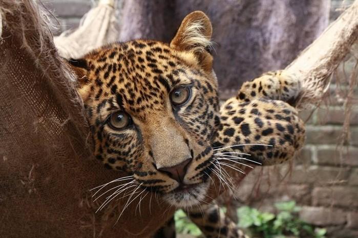 Женщина в Индии победила в схватке с леопардом