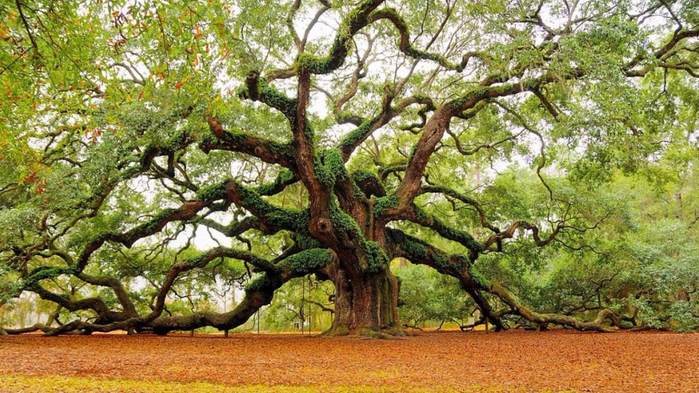 Top_14_must_beautiful trees (4) (700x393, 429Kb)