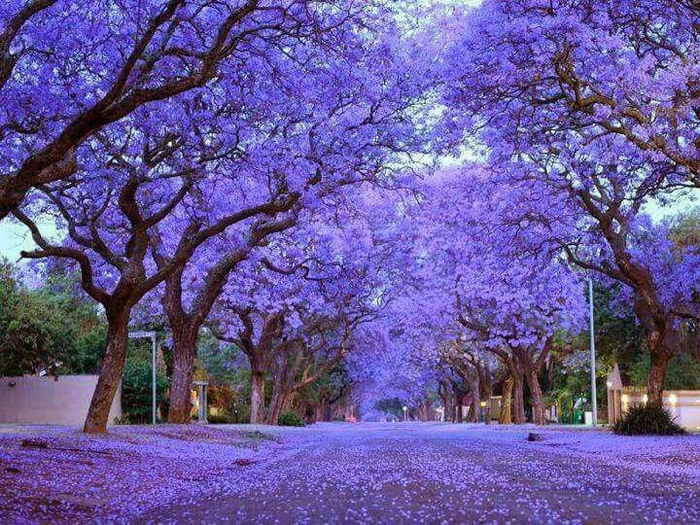Top_14_must_beautiful trees (9) (700x525, 569Kb)