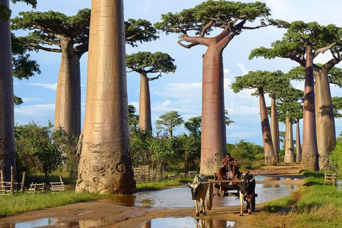 Top_14_must_beautiful trees (11) (700x467, 396Kb)