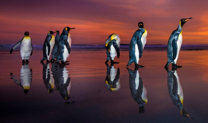 Королевские пингвины в объективе