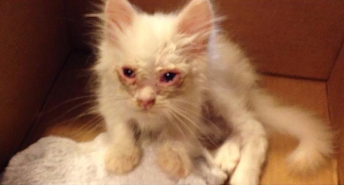 kitten-found-becomes-immensely-fluffy-1jpg (700x376, 201Kb)