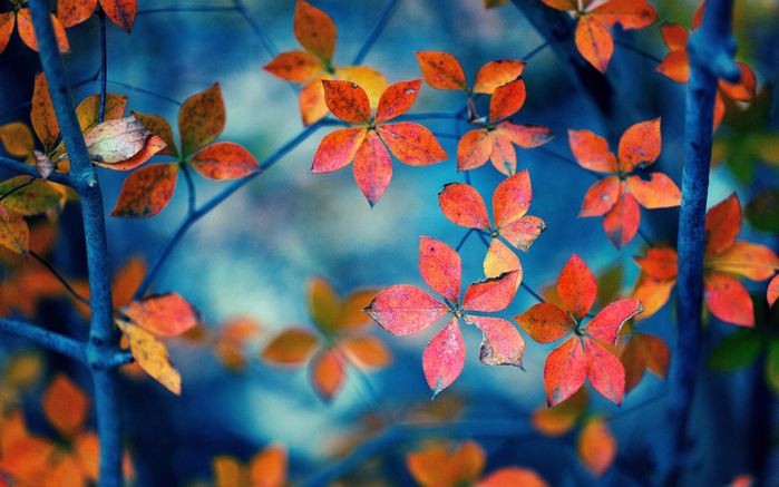 red-leaves-branches-autumn-2K-wallpaper (700x437, 421Kb)