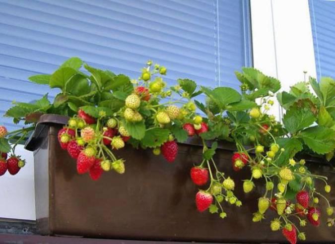 Как посадить землянику на балконе.