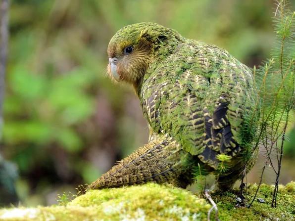 Удивительная птица какапо